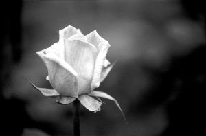 209975_black_and_white_rose.jpg