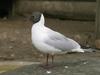 blackheaded_gull.jpg
