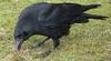 carrion_crow.jpg