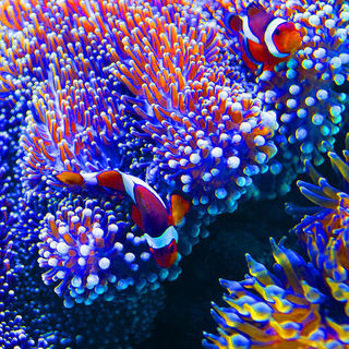 clownfish2.jpg