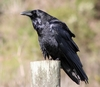 common_raven.jpg