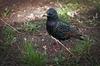 common_starling.jpg