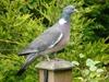 common_wood_pigeon.jpg