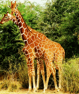 giraffestogether.PNG