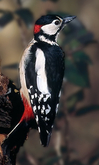 great_spotted_woodpecker.jpg